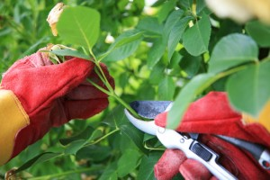 Roswell Lawn Care rose pruning