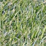 Marietta GA Lawn Care Fescue Grass