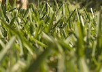 Roswell-Ga-Fecue-lawn-care
