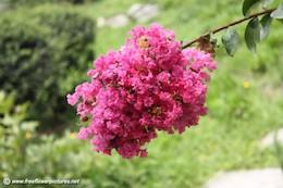 crepe-myrtle flower
