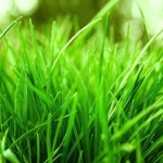aerating Fescue Grass